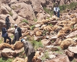 500 ovaca izvršilo samoubistvo skokom sa litice