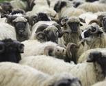 Islamska zajednica Kosova očekuje više od 7.000 narudžbi za klanje kurbana