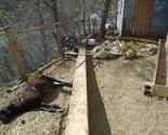 Pousko: Medvjed ušao u tor i zaklao 28 ovaca i jagnjadi