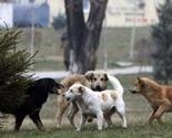 Psi lutalice otkinuli obraz osmogodišnjaku iz Vučitrna