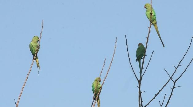 """Indija: Papagaji zavisni od opijuma """"pustoše"""" polja maka"""