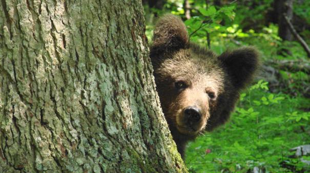 Mobilizacija za pronalazak opasnog medveda koji napada stoku