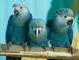 """Papiga iz animiranog filma """"Rio"""" je zvanično izumrla vrsta"""