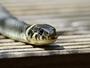 Britanska dobrotvorna ustanova daje 100 miliona dolara za efikasnije lečenje zmijskih ujeda
