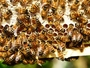 Pčele su proglašene najvažnijim bićima na našoj planeti